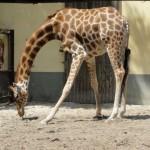 Girafe du zoo de la flèche