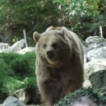 ours brun du zoo de la flèche