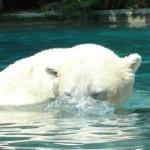 ours polaire du zoo de la flèche