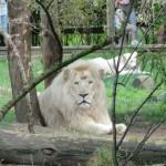 Lion blanc au Zoo de la Flèche