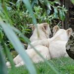 tigre blanc au Zoo de la Flèche