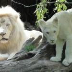 le lion blanc et son petit lionceau blanc
