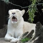 Lionne blanche du Zoo de la flèche