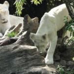Le lionceau fait des siennes