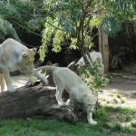 La lionne éduque son petit