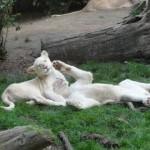 les lionceaux blancs du Zoo de la Flèche