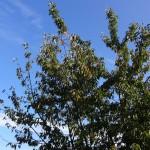 Cerisier motard dans mon jardin à Rennes
