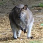 le petit kangourou