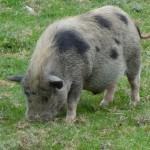 cochon sauvage gris