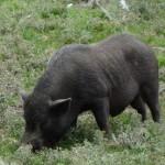 cochon sauvage noir