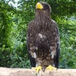 un aigle royal