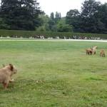 les chiens fauves de Bretagne