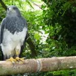 Aigle bleu au Domaine de la Bourbansais
