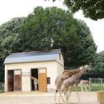 La famille des girafes à Saint-Domineuc