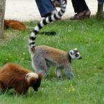 Lémurien au Zoo de Bourbansais