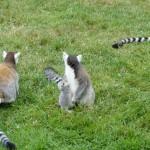 balade avec les Lémurien de Bretagne