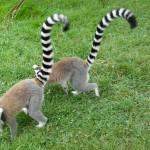 Deux lémuriens