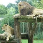 lion au zoo de la Bourbansais