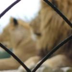 Lion de Saint Domineuc