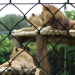 Lions en Bretagne