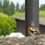 oiseau chante au golf de Saint-Malo