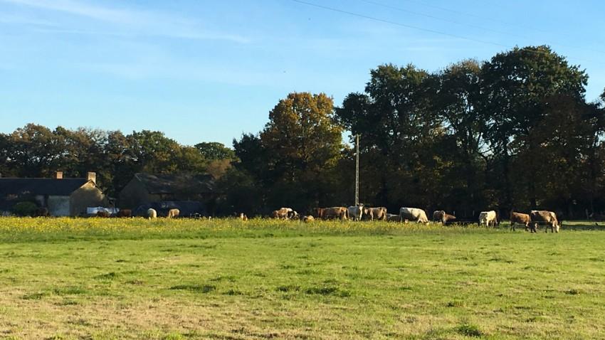 les vaches en campagne Bretonne