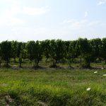 champ de vigne
