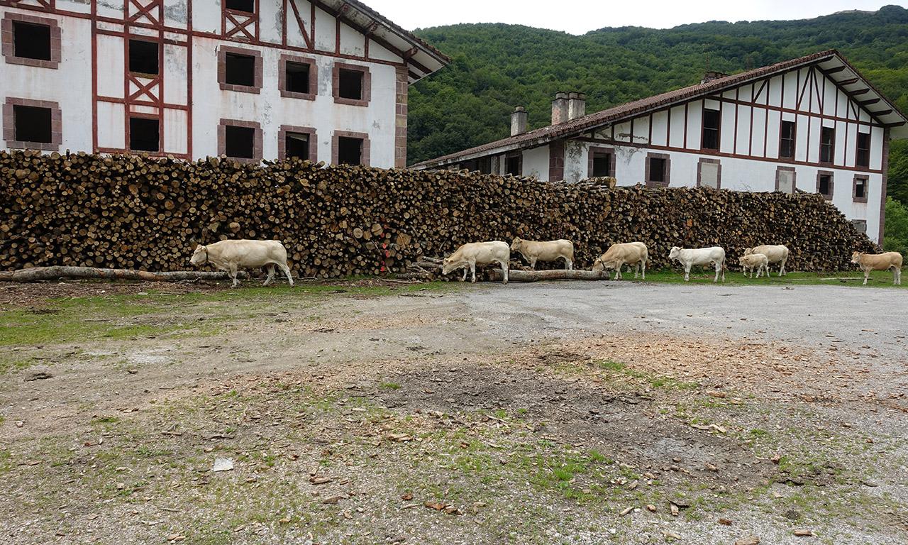 vaches en liberté dans les montagnes