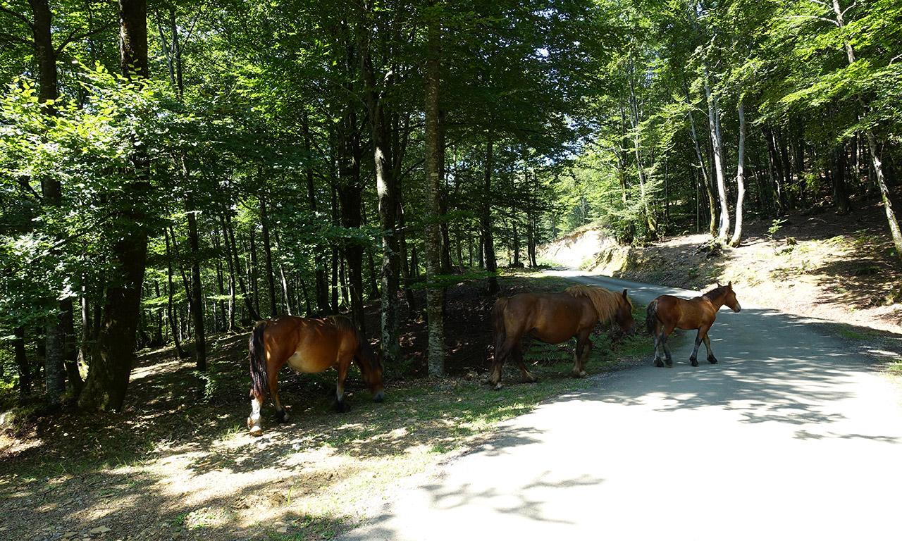 les chevaux en liberté dans les Pyrénées