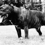 Green Velvet Jazt II de la lune de Sang, Staffordshire Bull Terrier