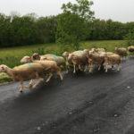 Troupeau d'agneaux à Vimenet
