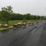 Vimenet et son troupeau d'agneau