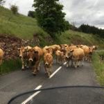 Croiser un troupeau de vache sur la route